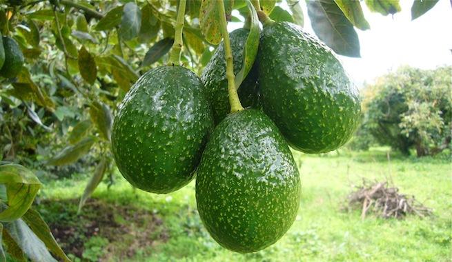 Apuestan por valor nutricional del aguacate para promover su fuerte demanda