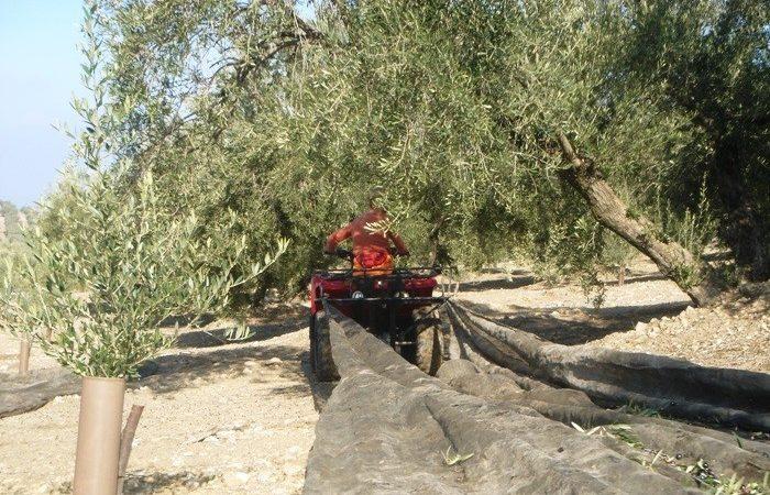Más del 20% del olivar español en riesgo de abandono