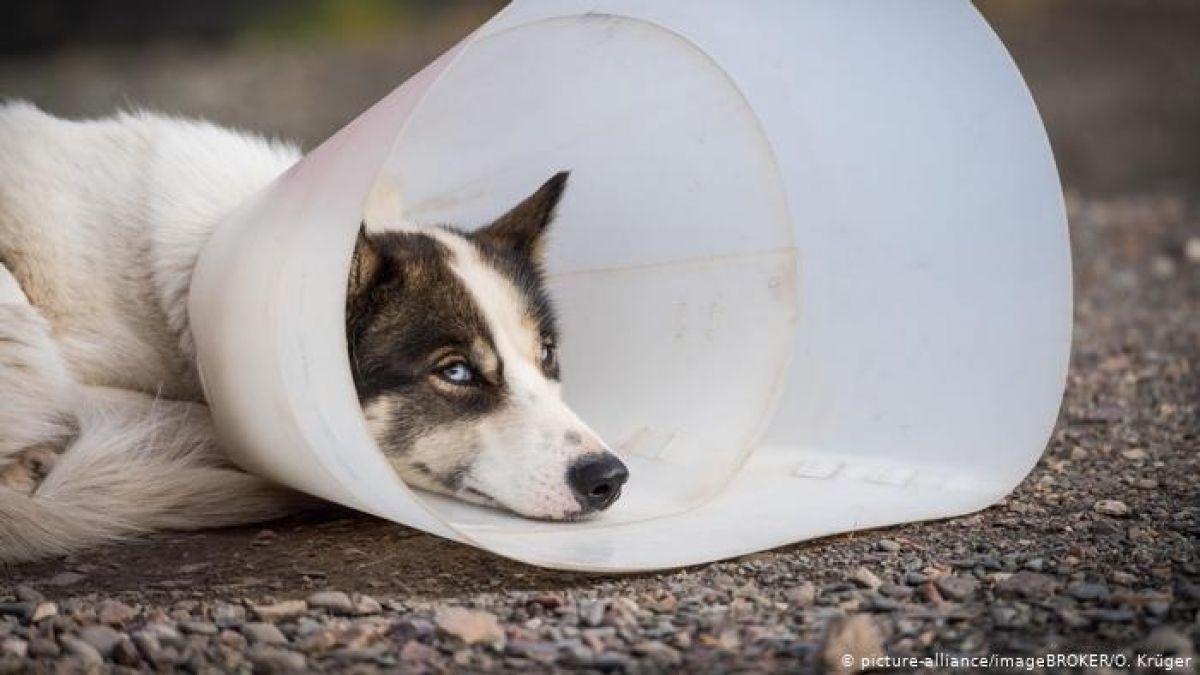 Una enfermedad misteriosa ataca mortalmente a los perros de Noruega